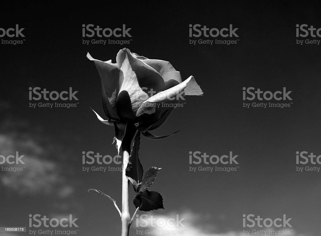 Perfect Rose, Sky, monochrome stock photo