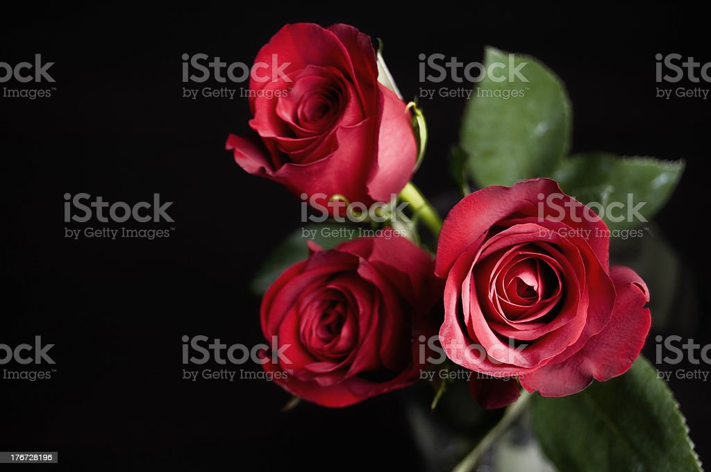 Perfect Roses stock photo