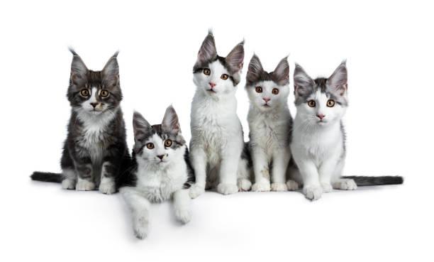 richtige zeile fünf blau / schwarz tabby hohe weiße maine coon katze kätzchen sitzen / verlegung und blick in die kamera, isoliert auf weißem hintergrund - grau getigerte katzen stock-fotos und bilder