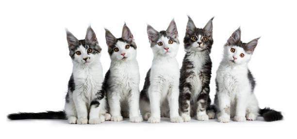 richtige zeile fünf blau / schwarz tabby hohe weiße maine coon katze kätzchen sitzen und blick in die kamera, isoliert auf weißem hintergrund - grau getigerte katzen stock-fotos und bilder