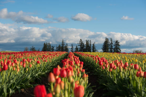 Perfect rows of colorful tulips on a blue sky afternoon in the Pacific Northwest stock photo