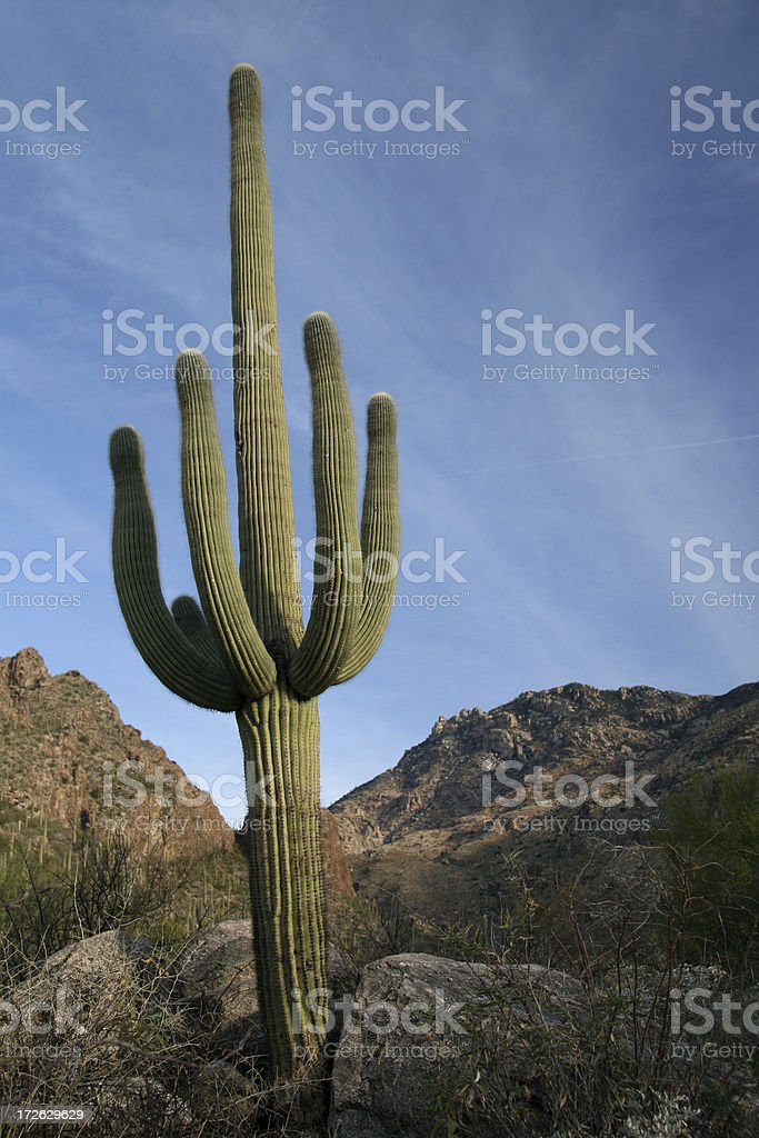 Perfect Saguaro royalty-free stock photo