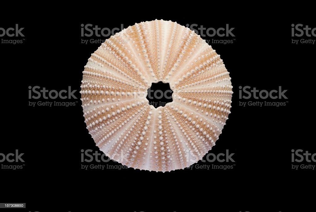 Perfect Sea Urchin Isolated on Black -Clipping Path stock photo