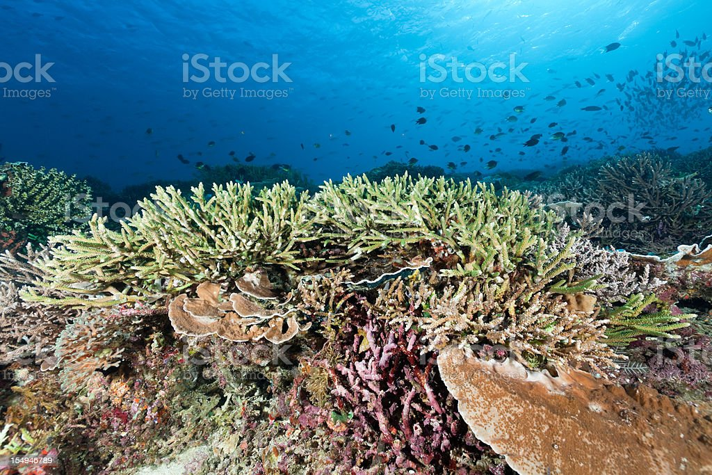 Perfect Staghorn Coral at Siaba Kecil, Komodo National Park, Indonesia royalty-free stock photo