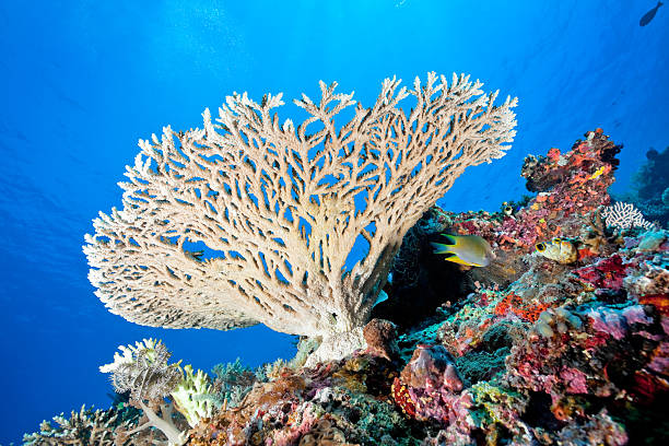 Perfect Stony Coral Acropora sp., Komodo National Park, Indonesia Perfect Stony Coral Acropora sp. at Gili Lawa Laut, Komodo National Park, Indonesia  indo pacific ocean stock pictures, royalty-free photos & images