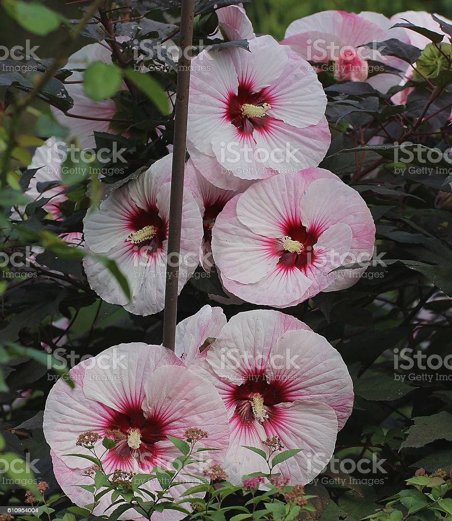'Perfect Storm' of Rose Mallow stock photo
