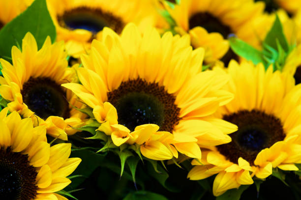 Perfect Sunflowers with Leafs stock photo