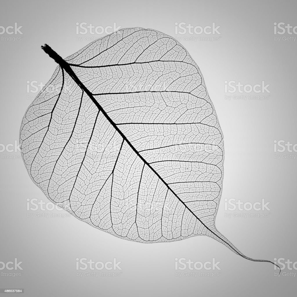 perfect transparent leaf skeleton extremely detailed stock photo
