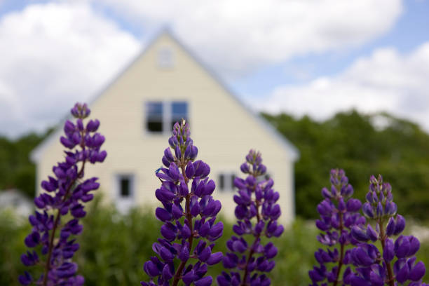 Perfect vacation, lupines in front of the cottage stock photo
