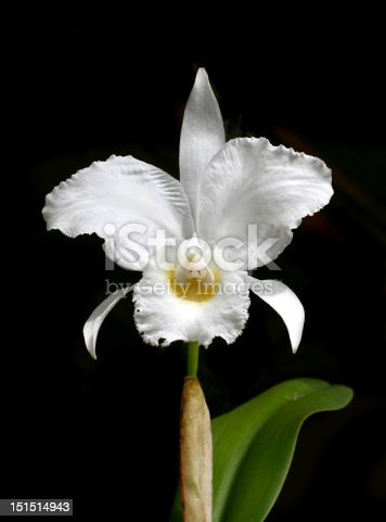 perfect white orchid - Cattleya