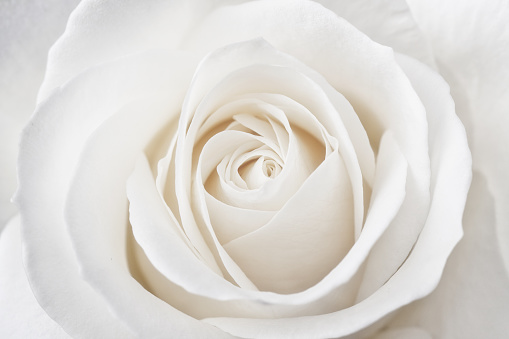 Perfect White Rose
