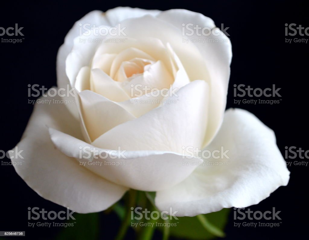 Perfect white rose stock photo