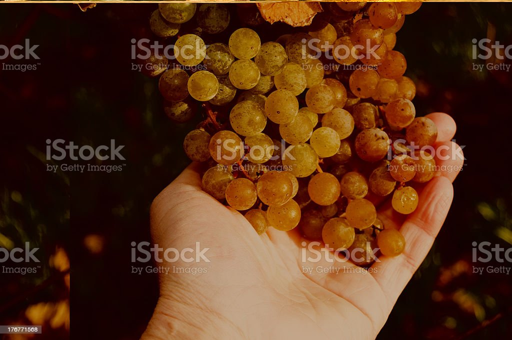 Perfect Wine Grape Bunches Ripening in Vineyard royalty-free stock photo