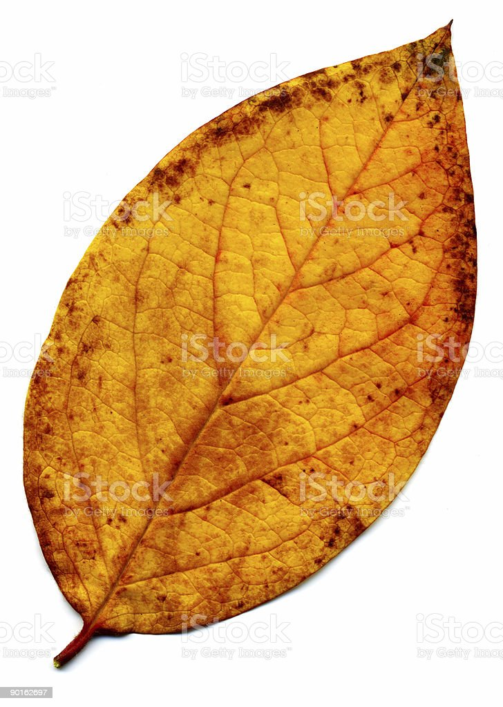 Perfect yellow autumnal leaf stock photo