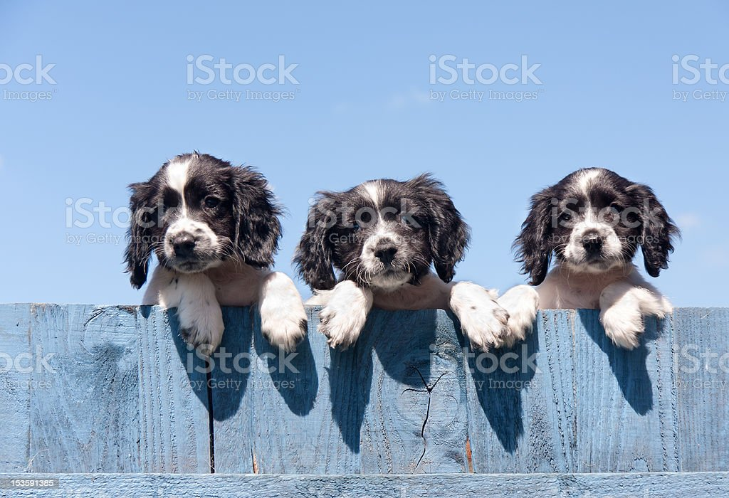 Perfection in little packages-look-a-like puppies royalty-free stock photo