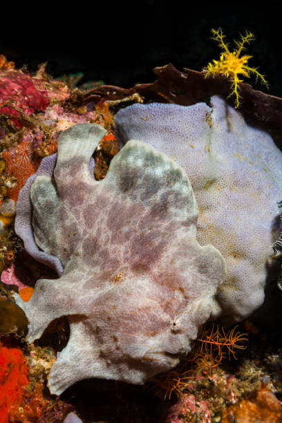 Perfectly Camouflaged Giant Frogfish, Mimicking a Sponge, Rinca Island, Komodo National Park, Indonesia stock photo