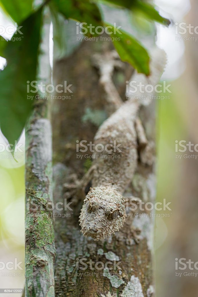 Perfectly masked mossy leaf-tailed gecko stock photo
