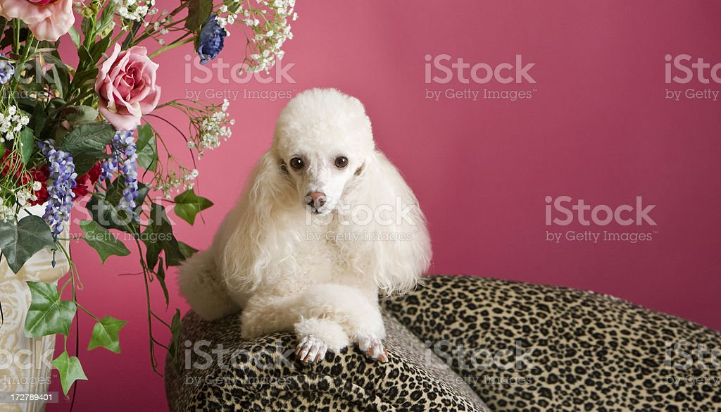 Perfectly Pampered Poodle royalty-free stock photo