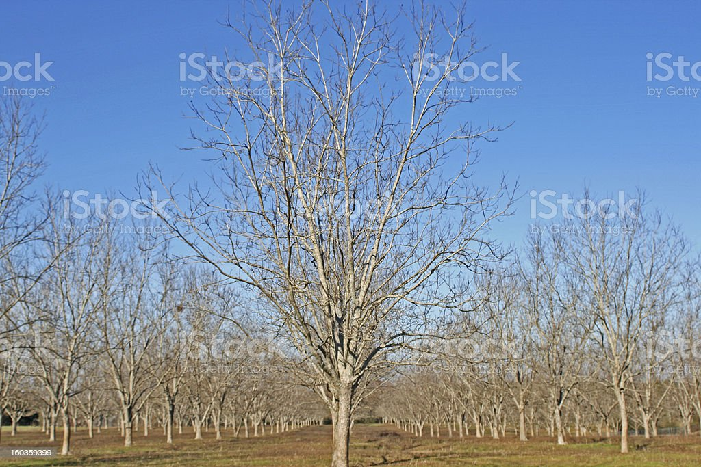 Perfectly planted pecan orchard royalty-free stock photo