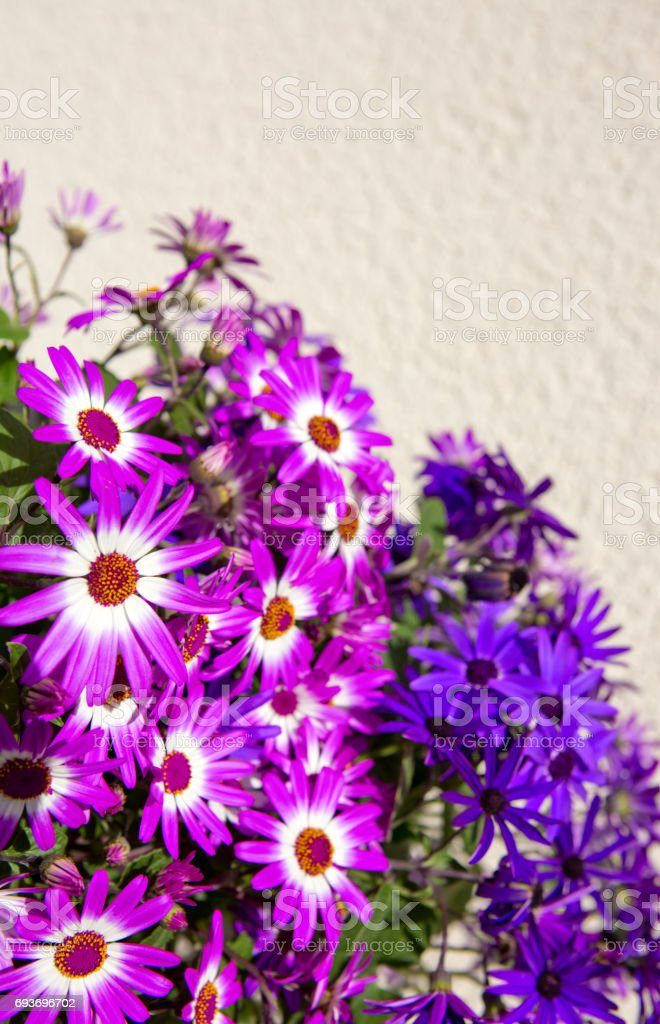 Pericallis flowers bouquet isolated stock photo