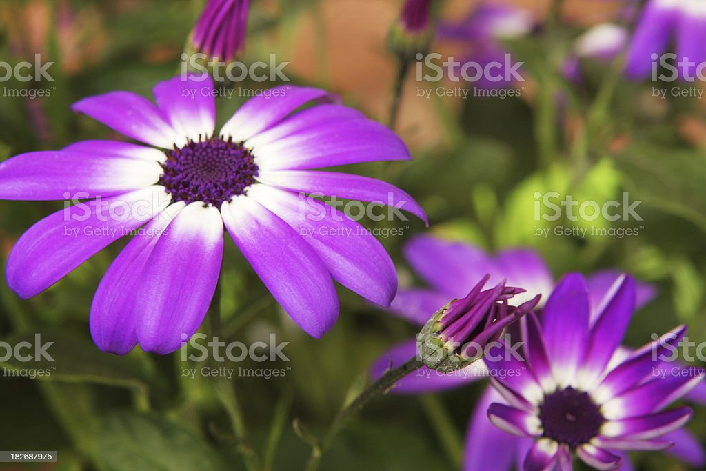 Pericallus senetti Daisy Flower Blossom royalty-free stock photo
