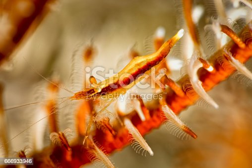 istock Periclimenes affinis, juvenile, on feather star crinoid. 666933946