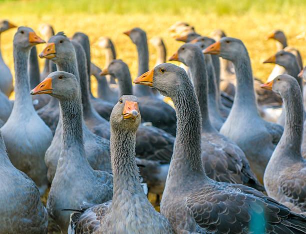 oies perigord - foie gras photos et images de collection