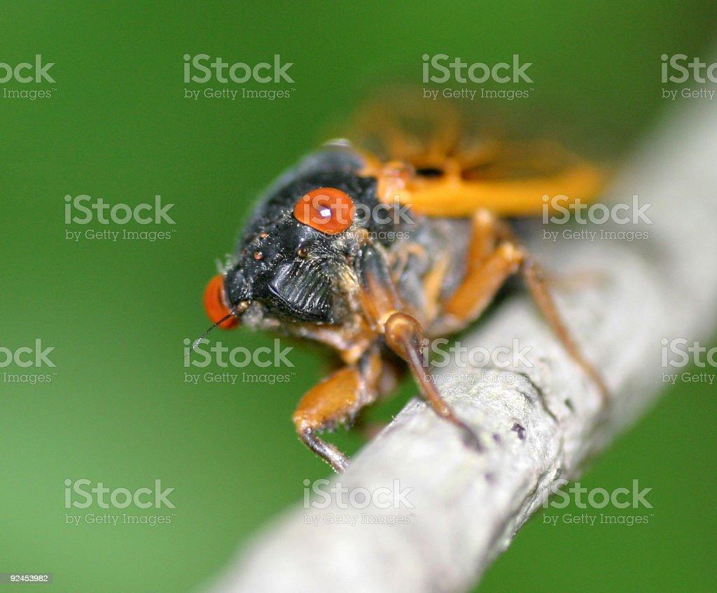 Periodical Cicada royalty-free stock photo