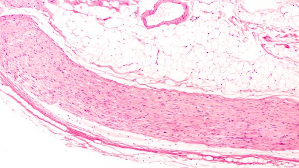 Peripheral Nerve stock photo