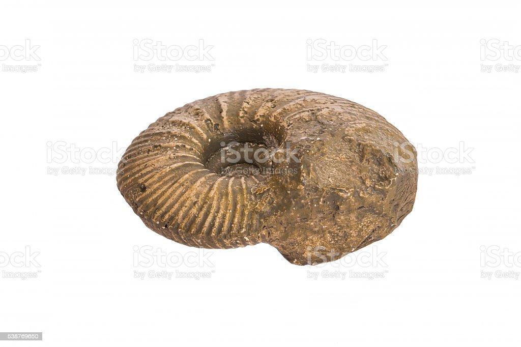Perisphinctes Jurassic ammonite fossil – Foto