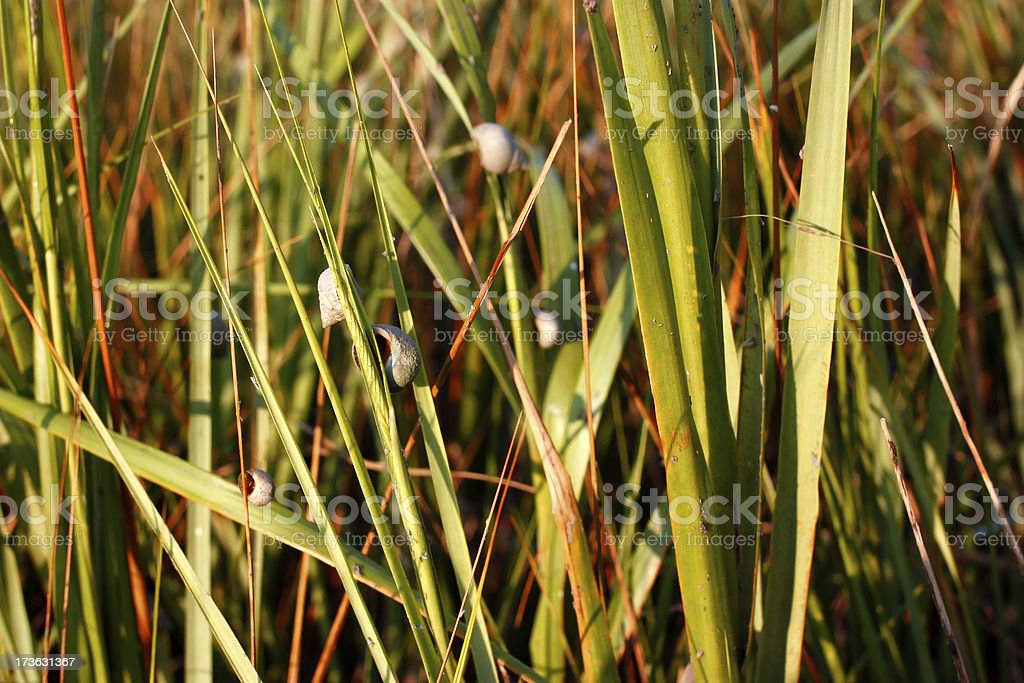 periwinkle in tidal grass stock photo