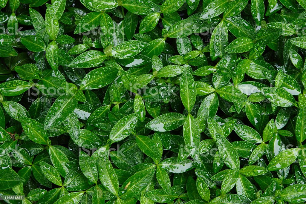 Periwinkle Myrtle Vinca minor Leaf royalty-free stock photo
