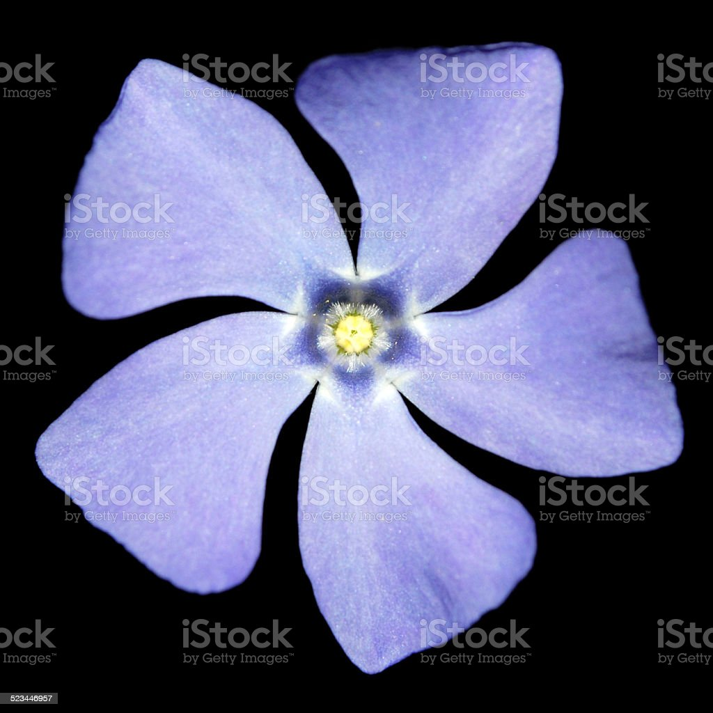 periwinkle on a black background stock photo