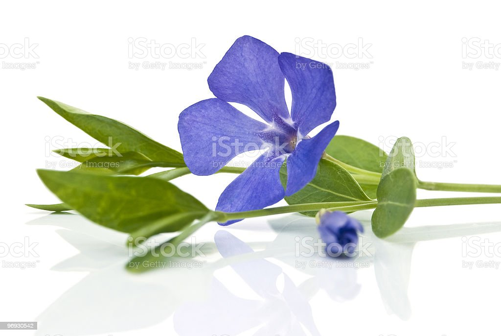 periwinkle royalty-free stock photo