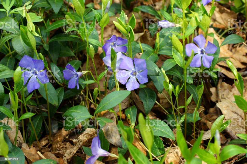 Periwinkle plant with green leaves stock photo