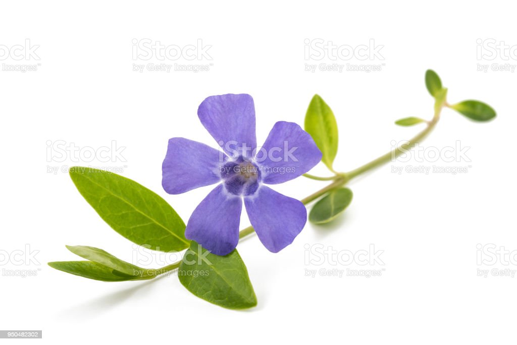 periwinkle sprig with flower stock photo