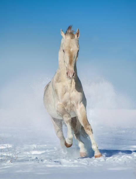 perlino achal-tekkiner pferde läuft im winter feld frei - akhal teke stock-fotos und bilder