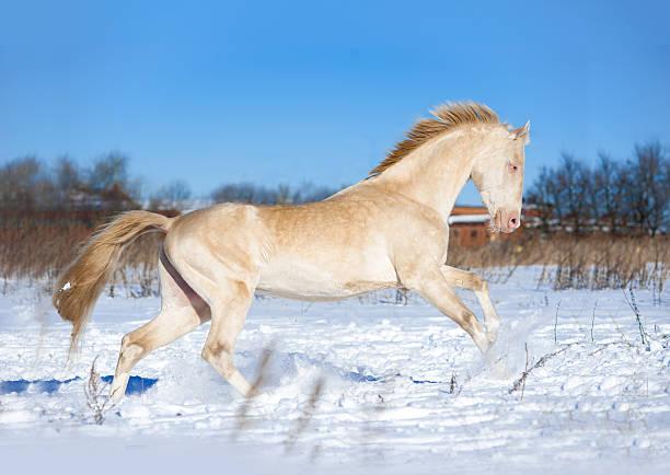 perlino akhal-teke hengst genießen winter sonnigen tag - akhal teke stock-fotos und bilder