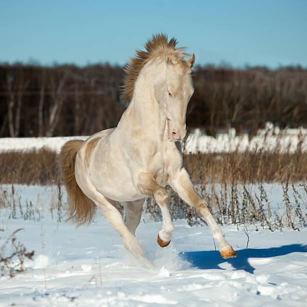 perlino akhal-teke hengst im schnee - akhal teke stock-fotos und bilder