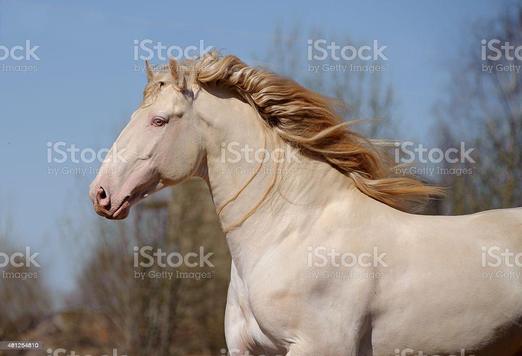 perlino lusitano horse with blue sky background stock photo