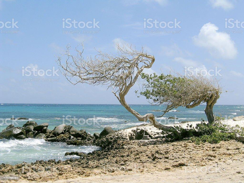 Permanently Bent Aruba Divi-divi Tree stock photo