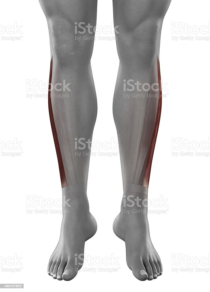 Peroneus longus male muscles anatomy anterior view isolated stock photo