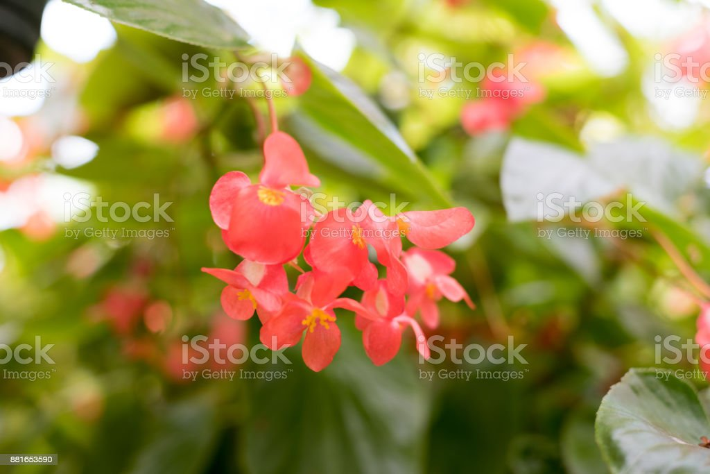 Perpetual begonia stock photo