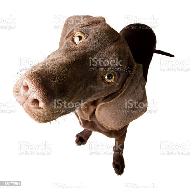 Perplex puppy picture id136977884?b=1&k=6&m=136977884&s=612x612&h=c4ioq6nyrsrxcijhw1c4h6mpxt4utbcojtjyjwxhxta=