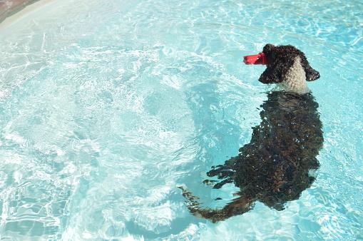 A Perro di Acqua dog is playing in the pool