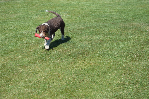 A Perro di Acqua dog is playing on the grass