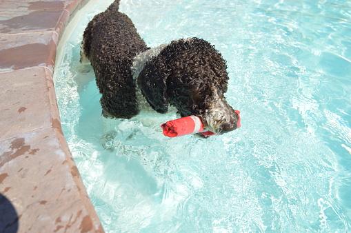 A Perro di Acqua  dog playing in a pool