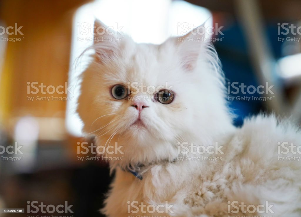 c3882c36f0 Persian And Turkish Van Cats Cross Breed White Color And Cat With ...