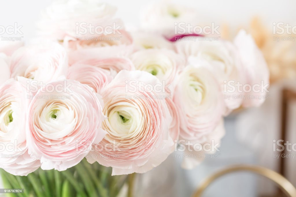 Persian Buttercup Bunch Pale Pink Ranunculus Flowers Light