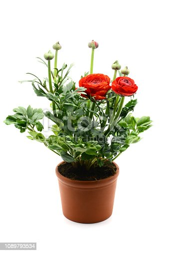 Persian buttercup (Ranunculus asiaticus) flowerpot on white isolated background